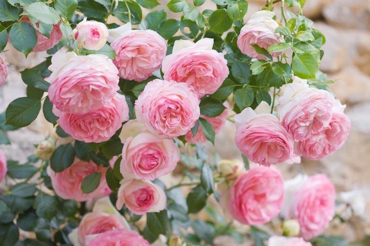 Eden rosa.jpg
