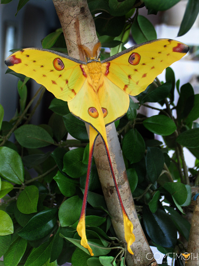 The Comet Moth, Argema mittrei - Madagascar.