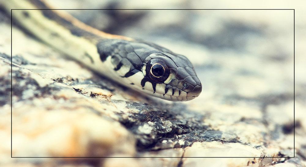 Garter Snake 1600.jpg