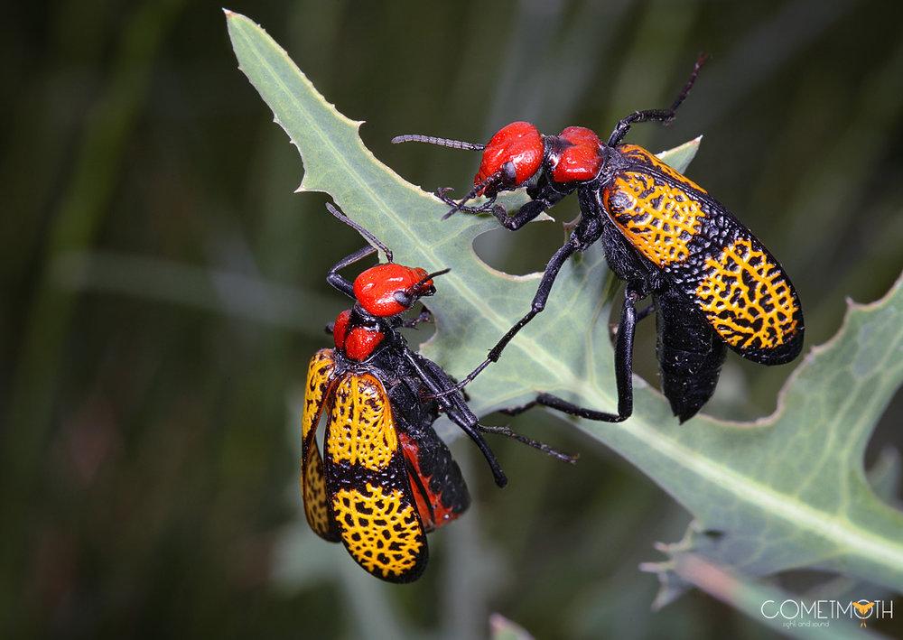 Iron Cross Blister Beetles Logo.jpg