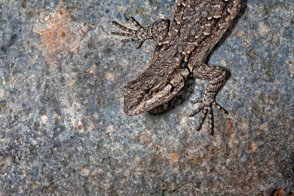Lizard Portrait 1600.jpg