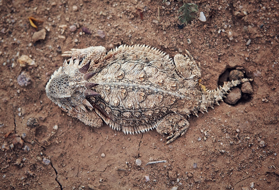 Adam Fleishman Cometmoth Spiny Lizard Aerial.JPG