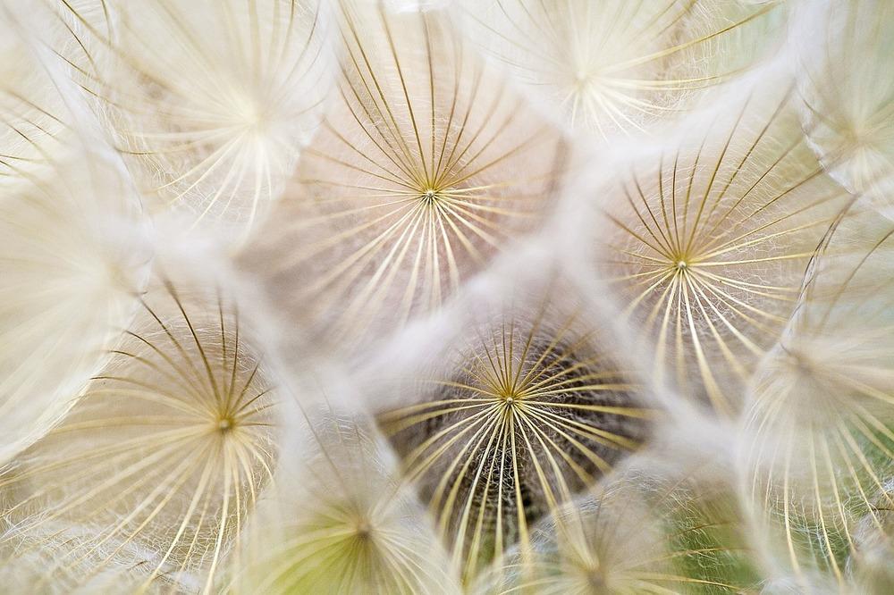 dandelions-691928_1280.jpg