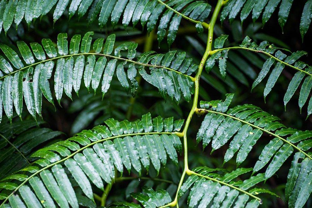 Ferns at Manoa Falls Hawaii