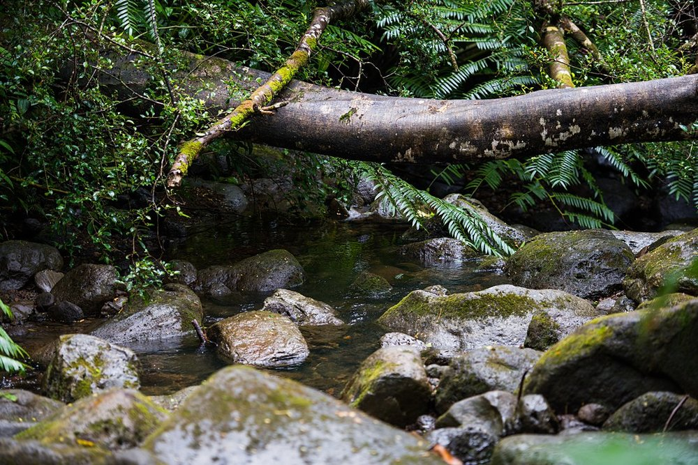A stream flows down from Manoa Falls and feeds the jungle