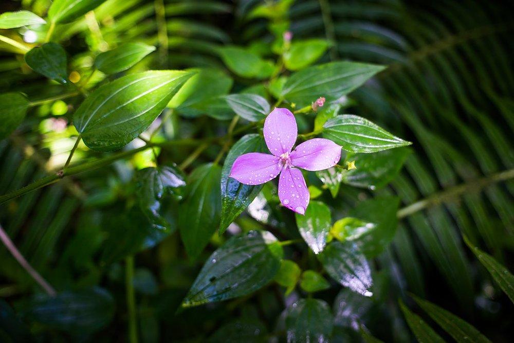 Beautiful purple flower along the hiking trail to Manoa Falls
