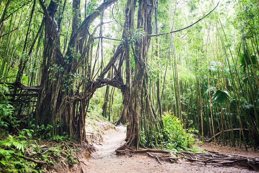 The vine archway tunnel on the Manoa Falls hiking trail is a great photo spot for an elopement or wedding