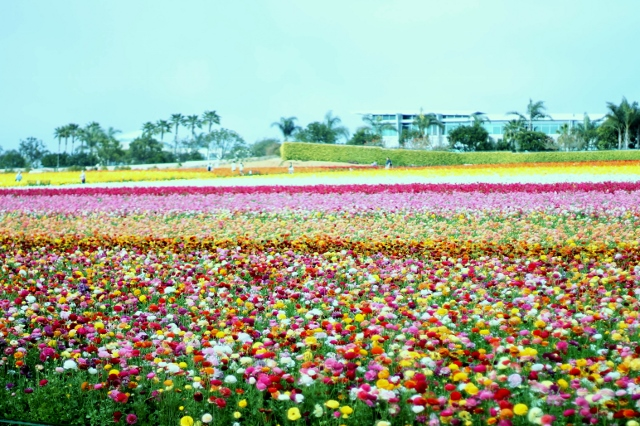Flower Fields Carlsbad CA via Leslie Reese