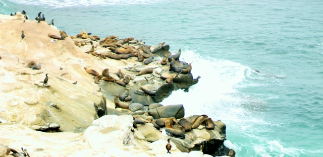 Seals at La Jolla CA  via Leslie Reese