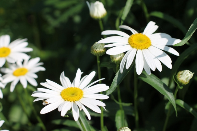flower-garden-daisy