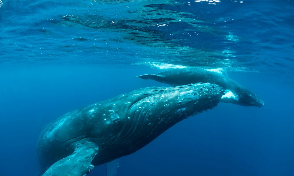Tonga Whale Tour 2019 - Want to snorkel with Humpback Whales in the crystal clear waters of Tonga? Join us on the 2nd – 12th September 2019 for an 11 day, once in a lifetime adventure.