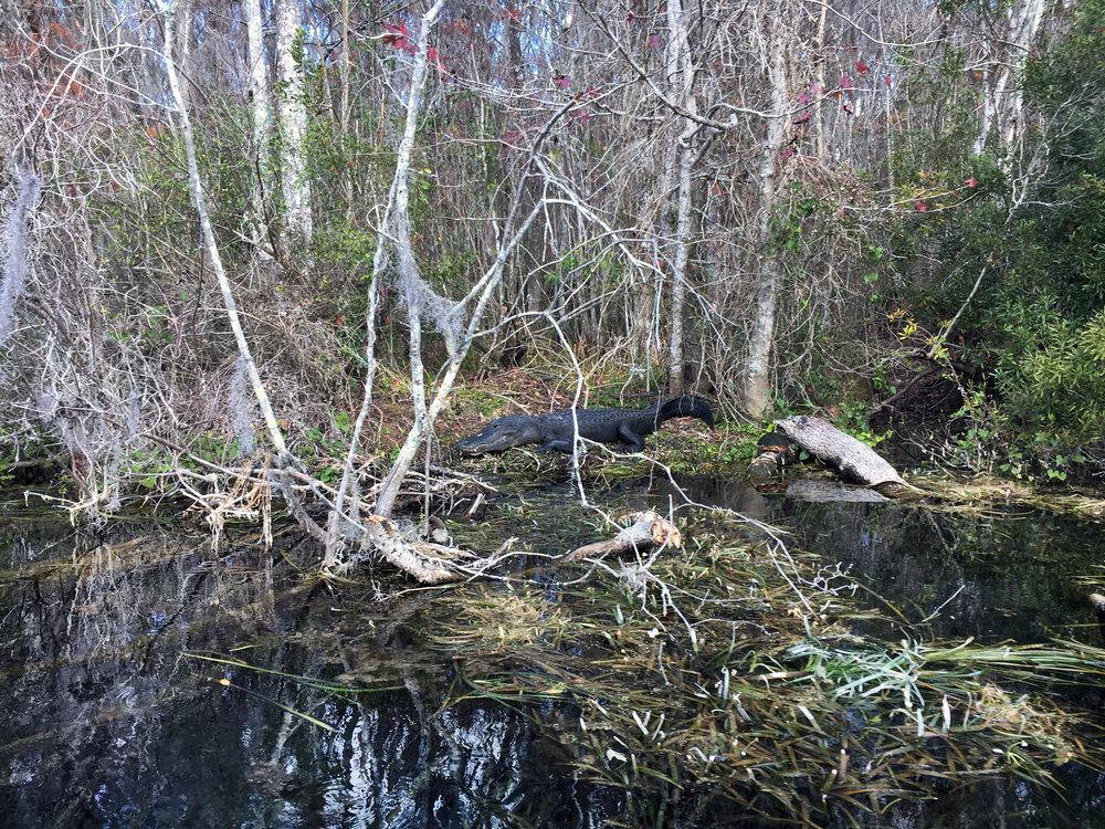 Big fuckin' gator at Silver Spring State Park.