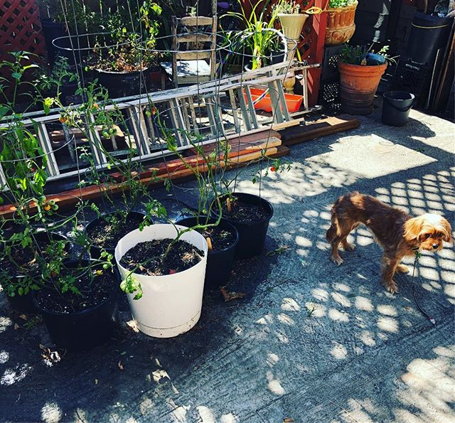 resting and recovering with tomatoes, peppers, and @drmollyseymour ❤️ 🍃🌶🍅 #gardening #sanfrancisco #weekend #doglife