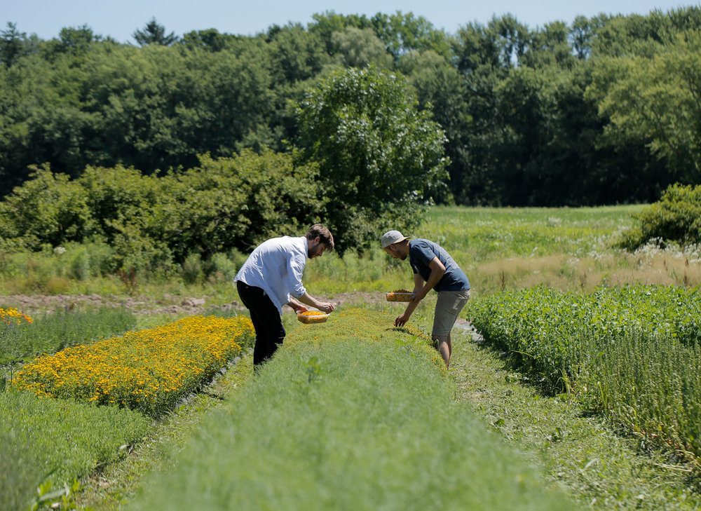 Photo of botanicals being picked from Blue Hill Farm