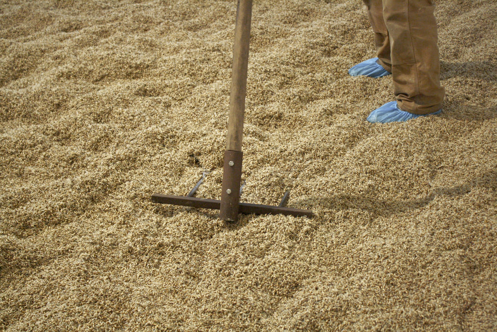 Photo of Dennis raking floor malted barley at Hudson Valley Malt