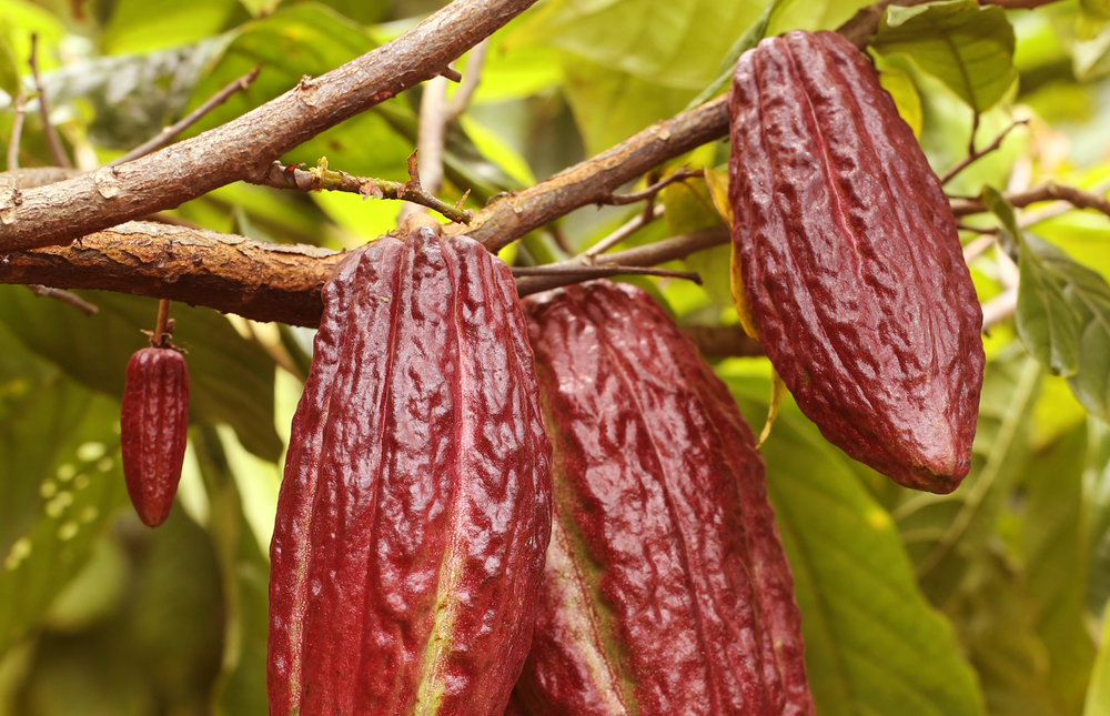 Criollo Porcelana - What started as an idea turned into reality when we ventured into the heart of Davao and met a lot of eager cacao farmers who were instrumental in our discovery of one of the rarest heirloom cacao varieties.