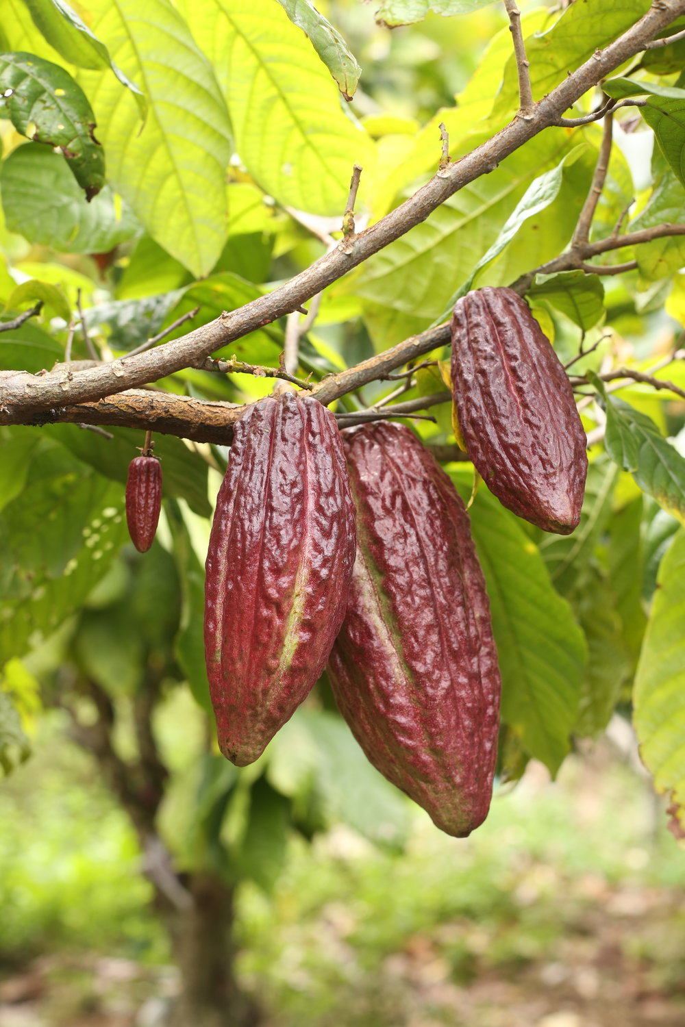 Adopt a cacao tree on Crowdfarming -