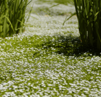 A field of Chamomile