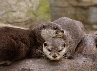 asian small clawed otters.jpg