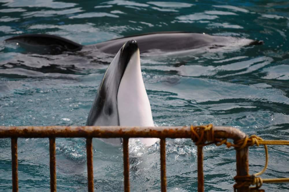 Pacific white-sided dolphin in captivity - Taiji, Japan