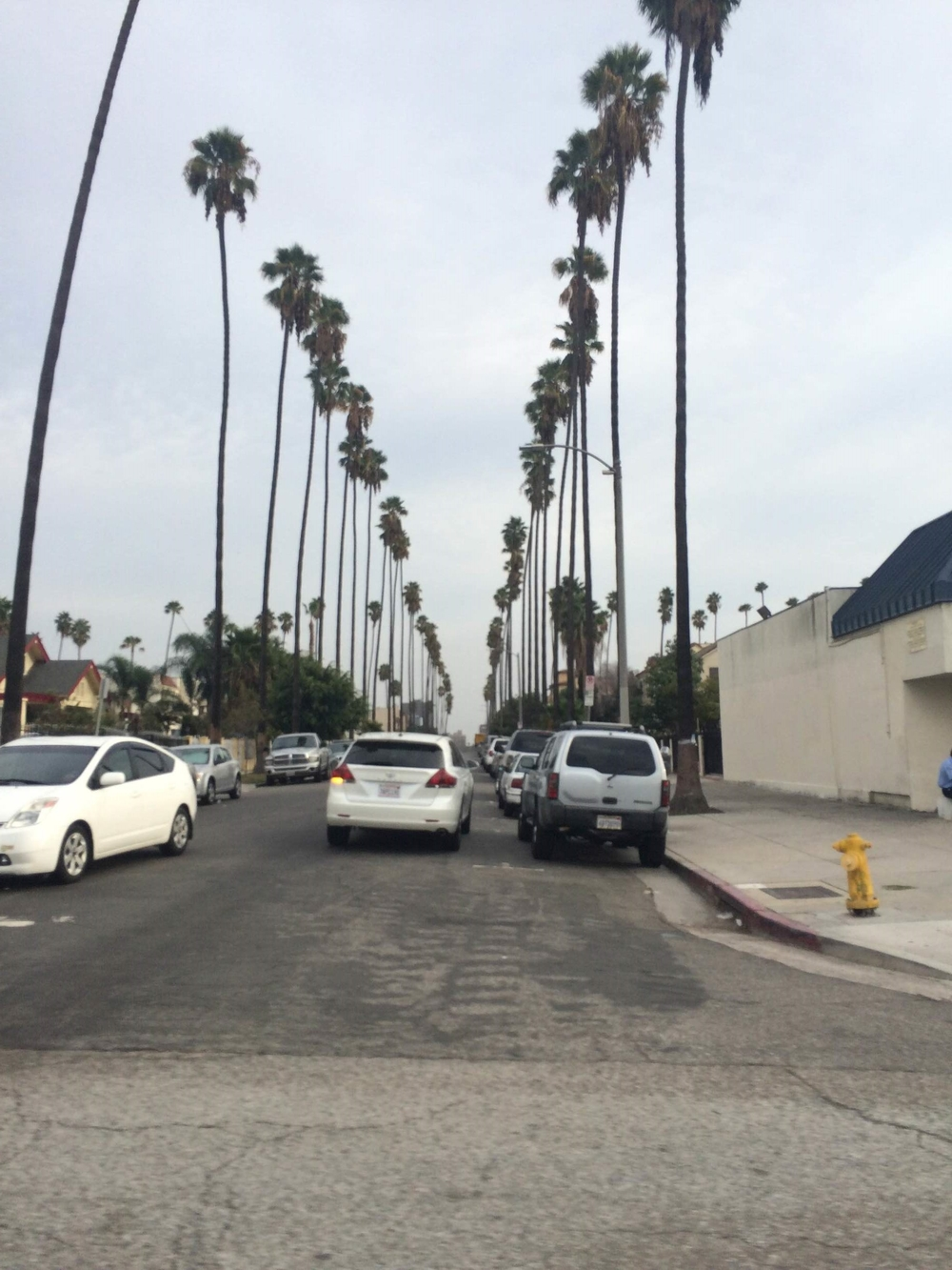 stereotypical LA palm trees