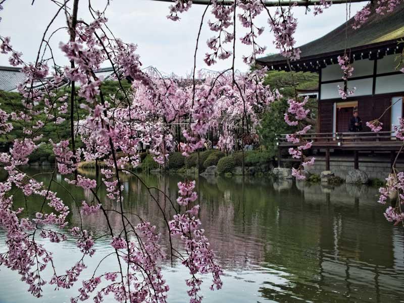 KYOTO Cherry Blossoms Heian-shrine-1.jpg