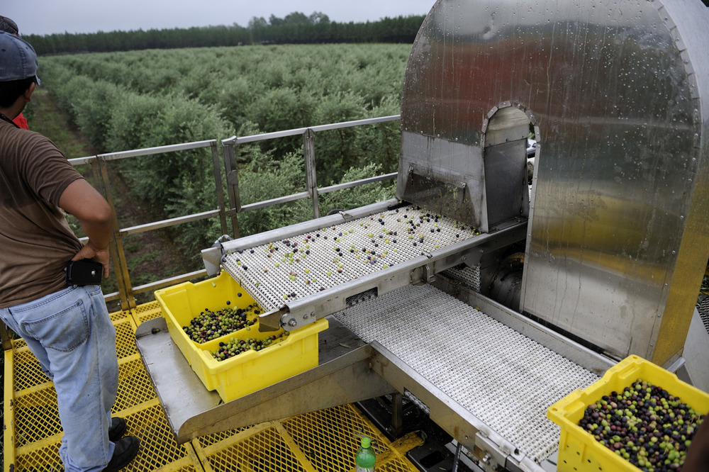 Georgia Olives Our friend Kevin Shaw at Georgia Olive Farms in Lakeland (near Valdosta) has reported to me the first commercial olive harvest in Georgia since the mid 1800's. I can't wait for a taste. Supplies will be limited at first, the goal is to produce high quality extra virgin olive oil right here in Georgia.