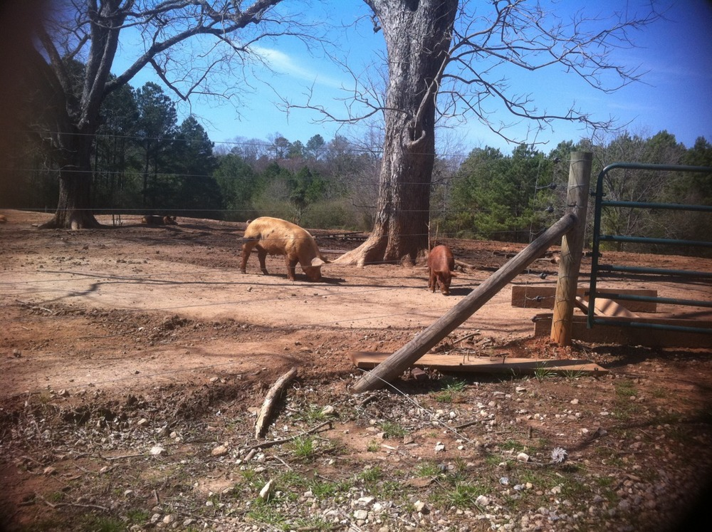 happy pigs at Greendale Farm, Morgan County, GA