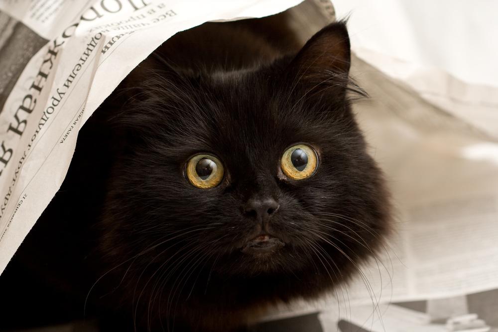 Bigstock: 63348377 - Cute Black Cat Under A Newspaper.jpeg
