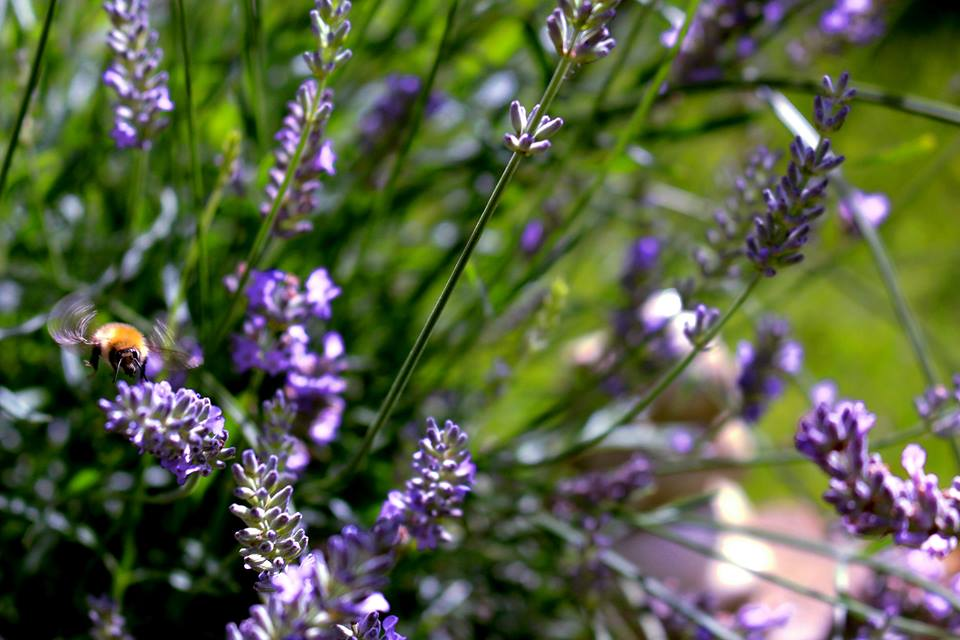 Bees enjoying Lavender flowers during summer  (Photo credit: Isabelle Colas)