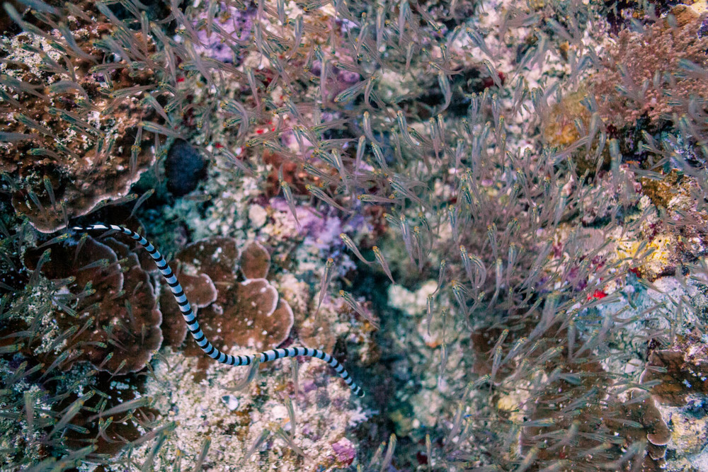 Banded sea krait (?)