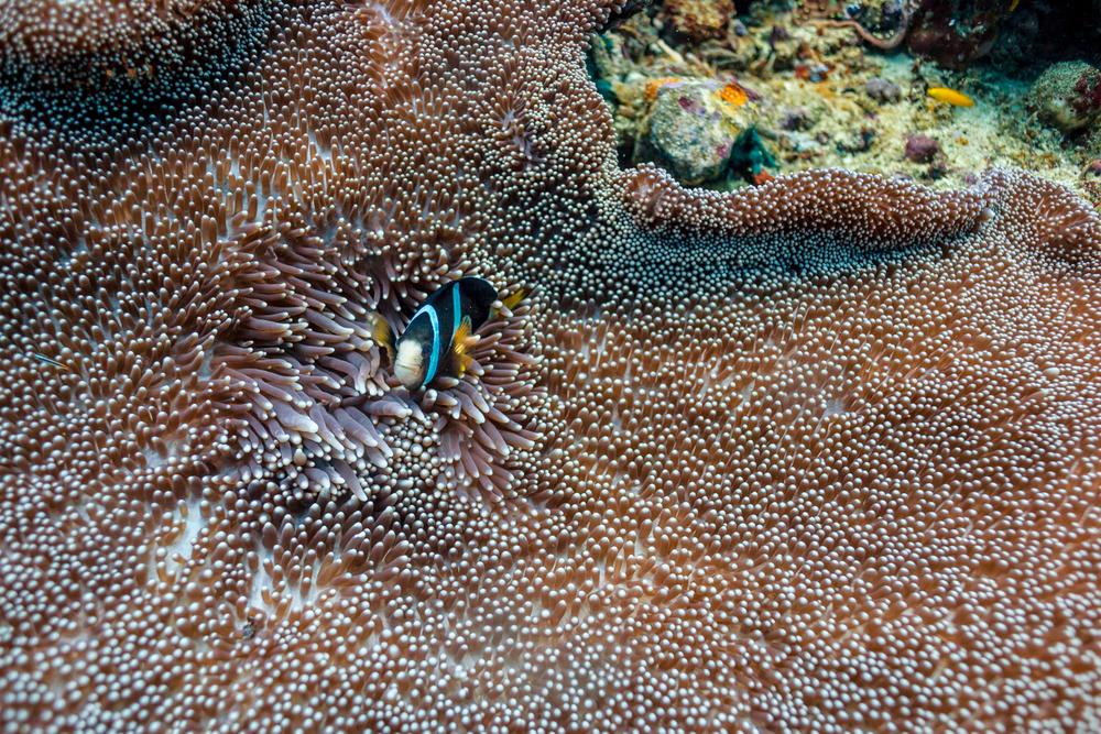 Clark's anemonefish?