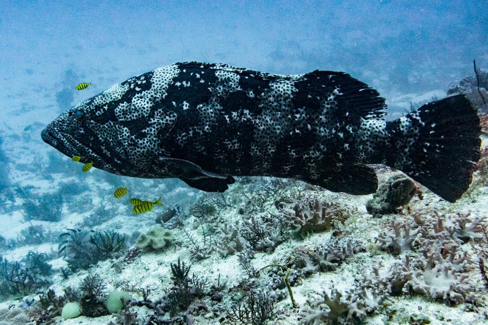 That's a Malabar grouper!