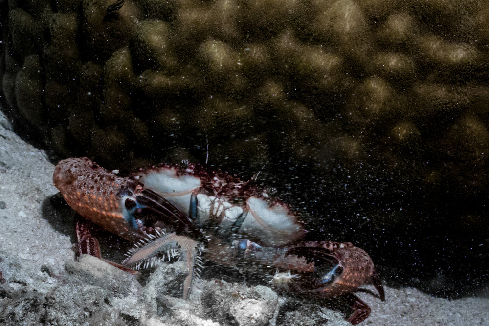 Crab eating a star fish