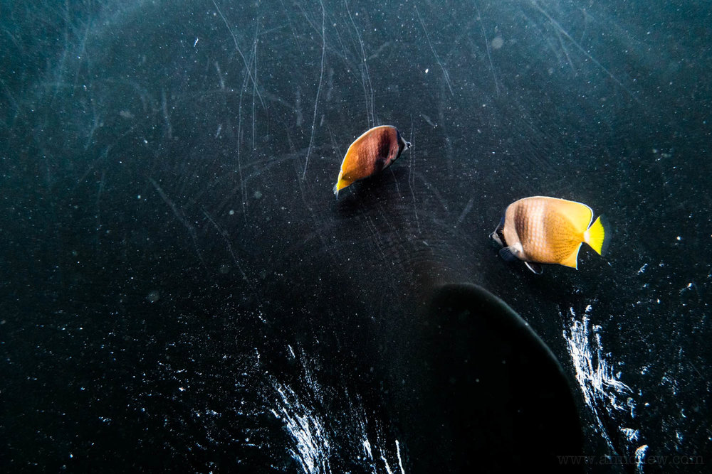 A pair of butterflyfish on the back of a black manta