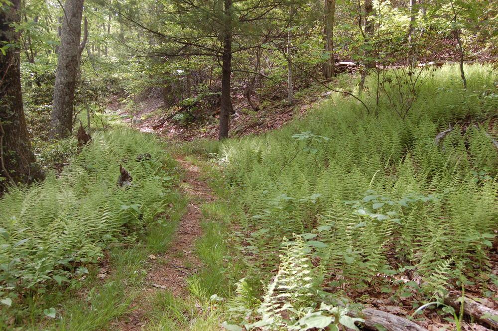 laurel ridge loop ferns1.JPG