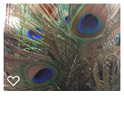 PEACOCK FEATHERS.png