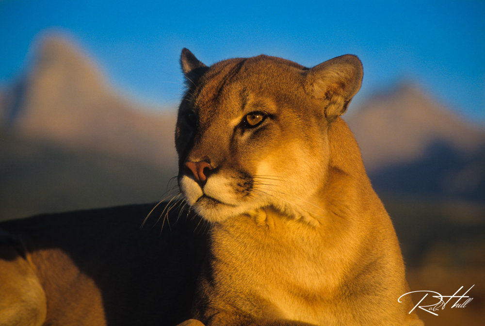 Mountain Lion Sunset