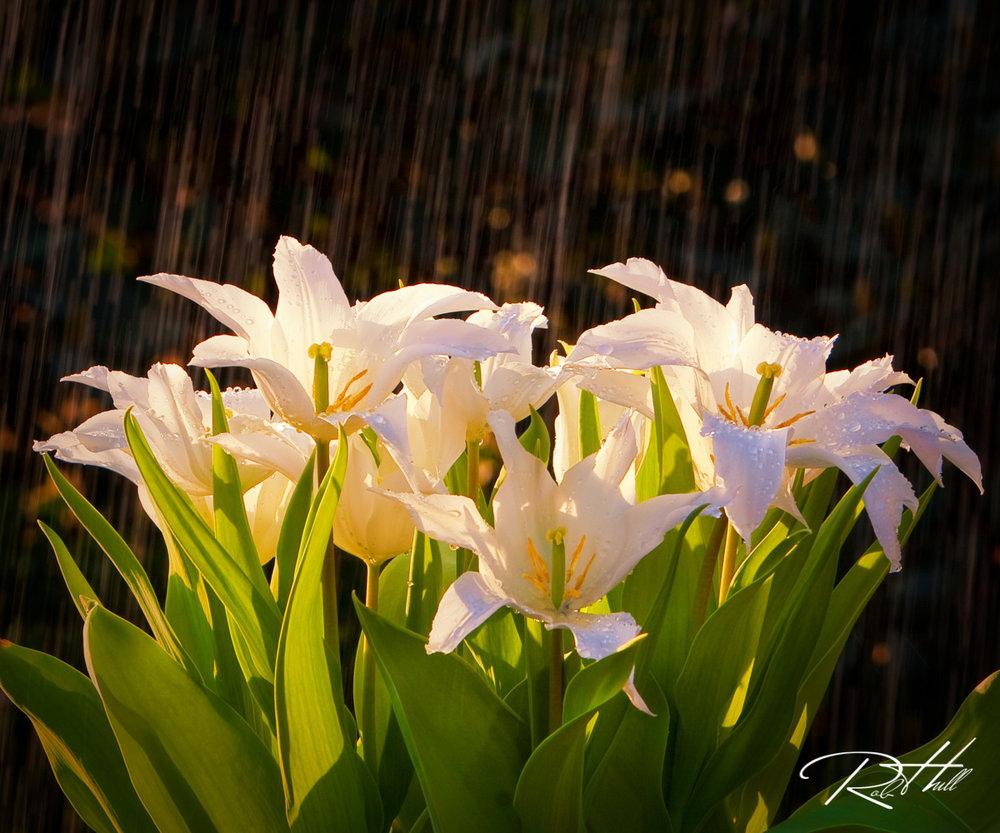 Rain Flowers_0994-Edit-1200.jpg