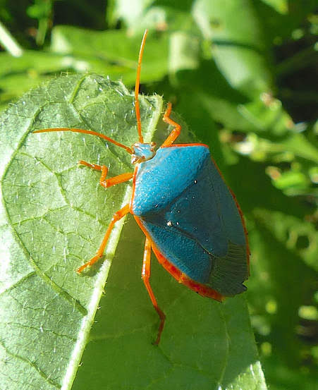 red bordered stink bug pic.JPG