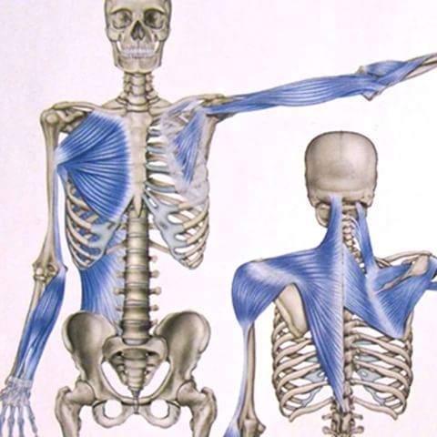 Fascia networks of the shoulder girdle, trapezius, pectoral muscles, and biceps.