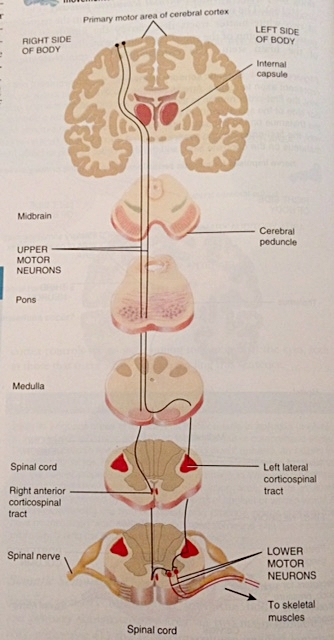 The brain, nervous system, spine, and muscles- they are ALL connected!