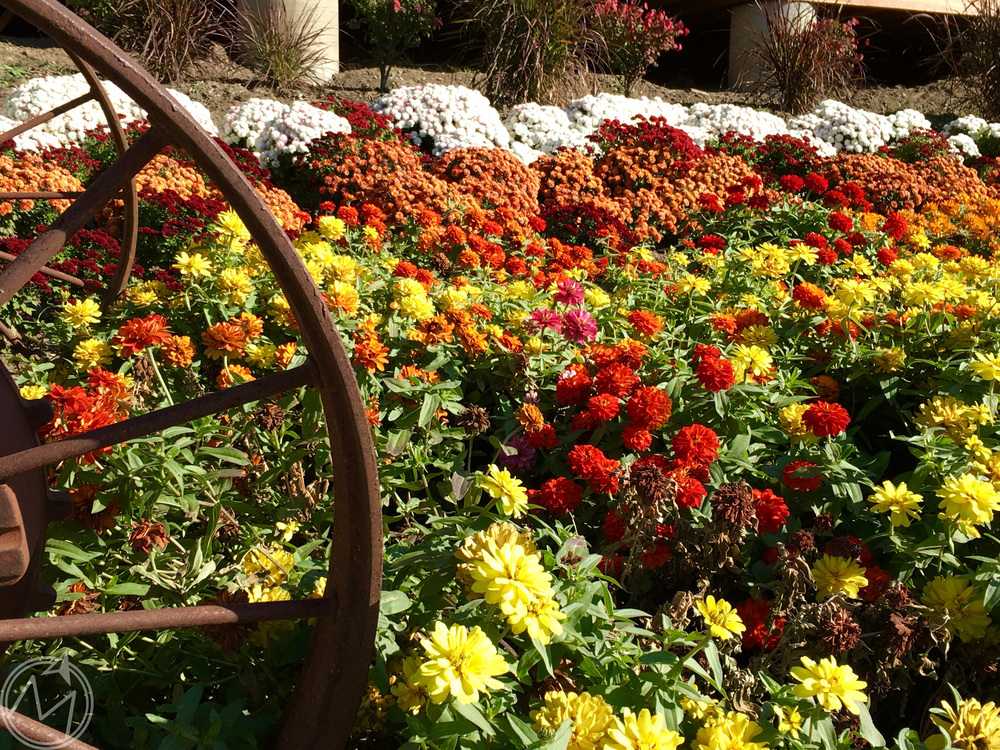 i could not get over how many gorgeous mums there were all over the grounds! seriously, the most brilliant colors you could ever dream up. this was only one part of it too. incredible!