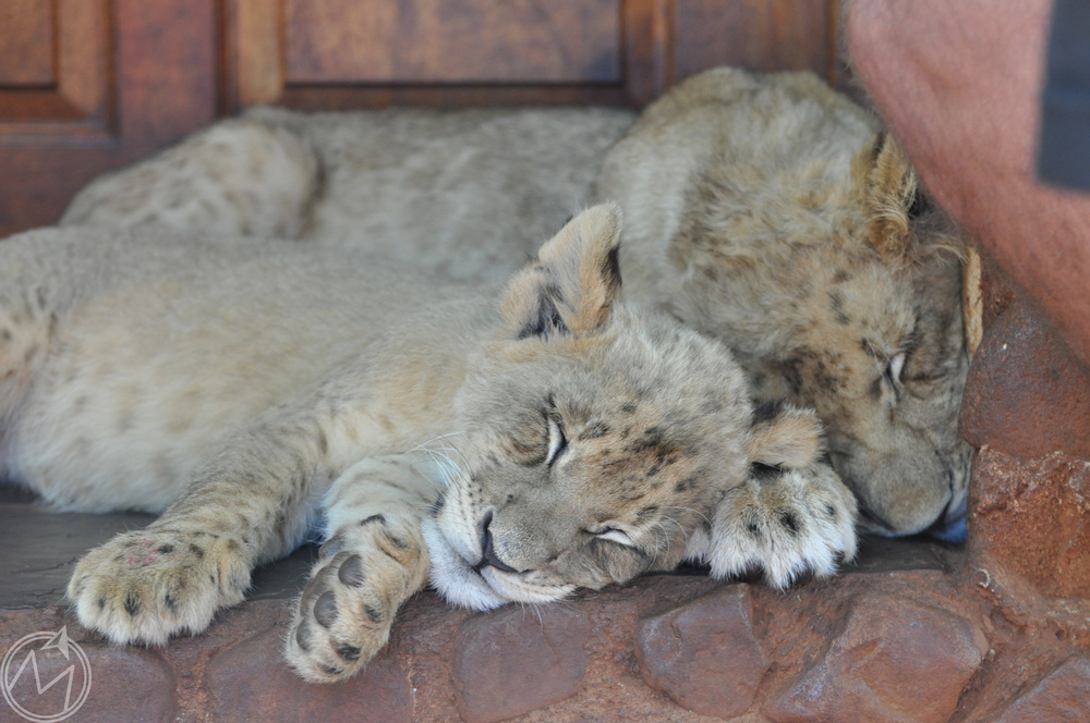 don't be fooled...they may be lion cubs, but they are just cats at the end of the day!