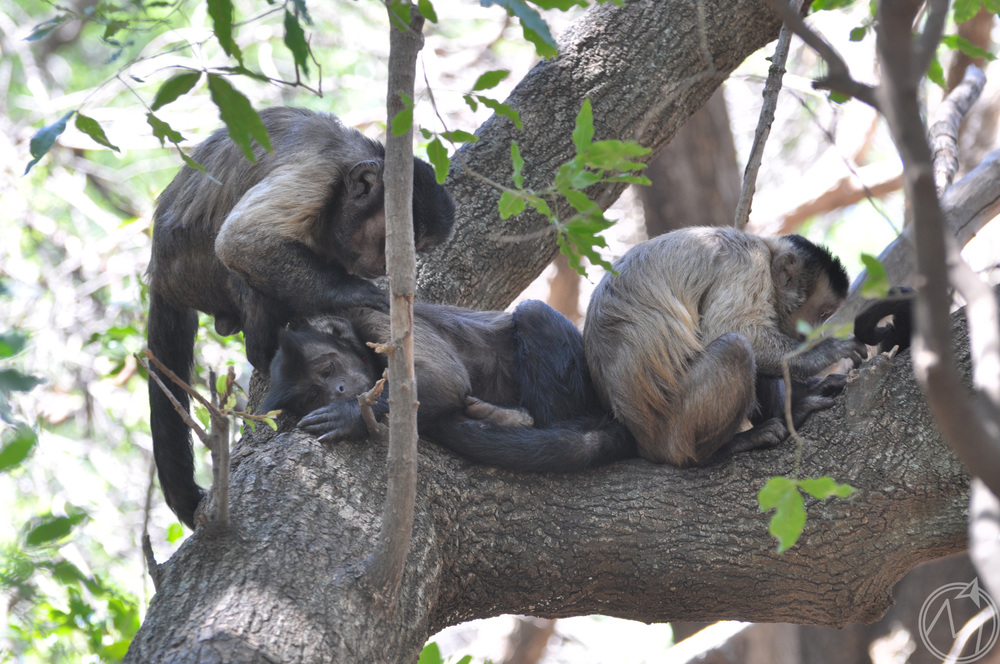 the cool thing about this area was that the monkeys were just chillin' in their natural habitat. each day, the trainers set food out, but otherwise they are left alone to climb, sleep, eat and clean each other like they are here!
