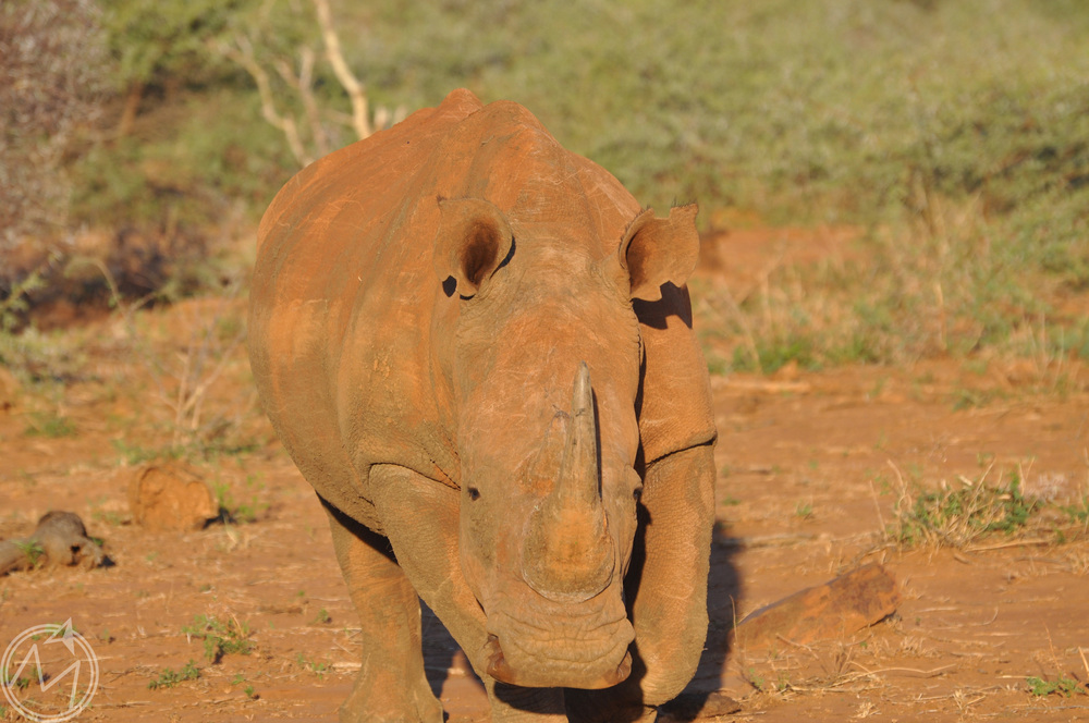 rhinos are super protected at madikwe and other african preserves because they are so often targeted for poaching. jesse told us that when rhinos are spotted in the area, they are not allowed to share locations over the radio in order to keep them safe.