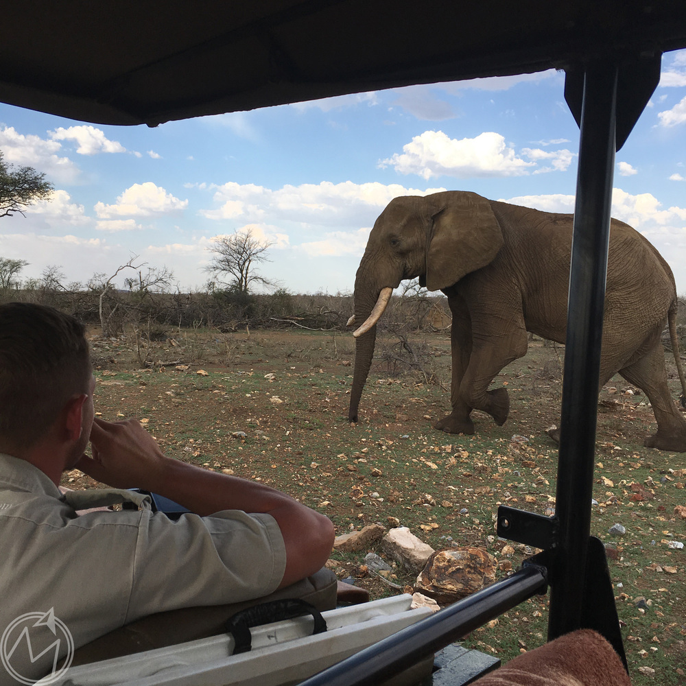 one of the coolest things we saw the entire trip was this 40 to 45-year-old elephant passing by our truck just minding its own business. as big as elephants are, this one walked so gracefully and quietly. none of us had to zoom in on any photos when this one passed by, that's for sure. it was amazing.