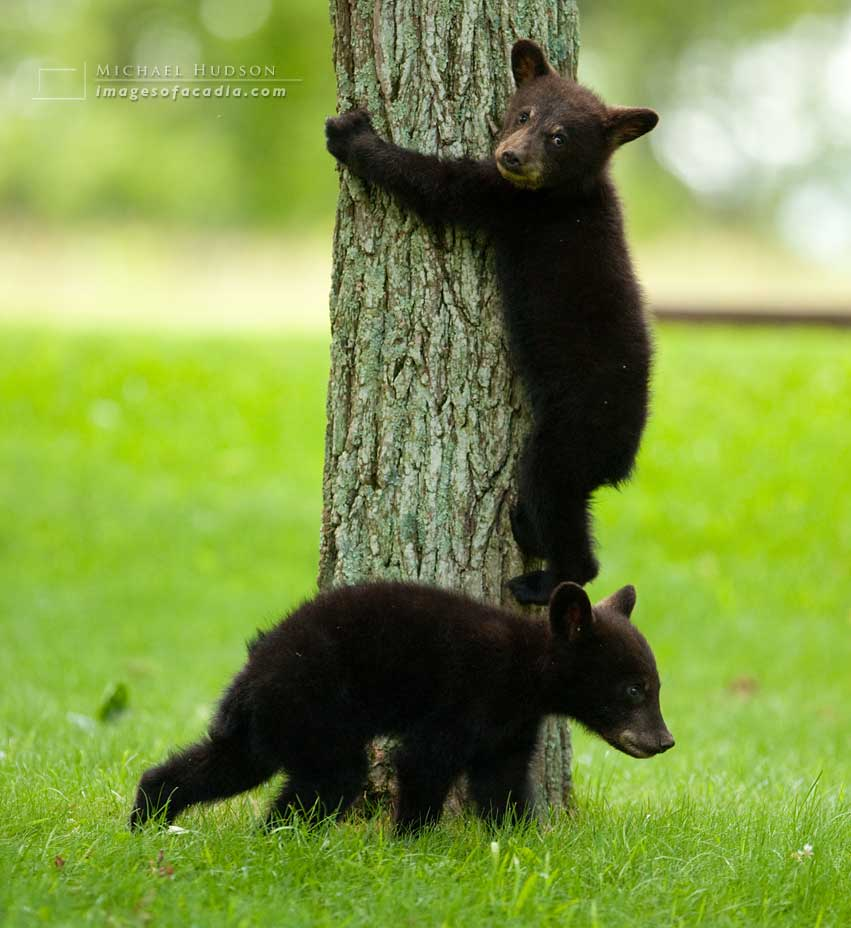 Black bear cub climbing down a tree after eating in the treetops