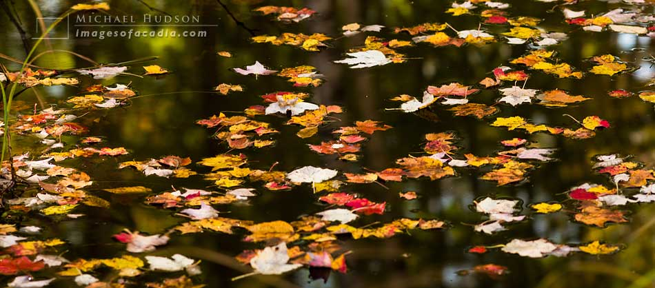 Colorful foliage floating in a small stream