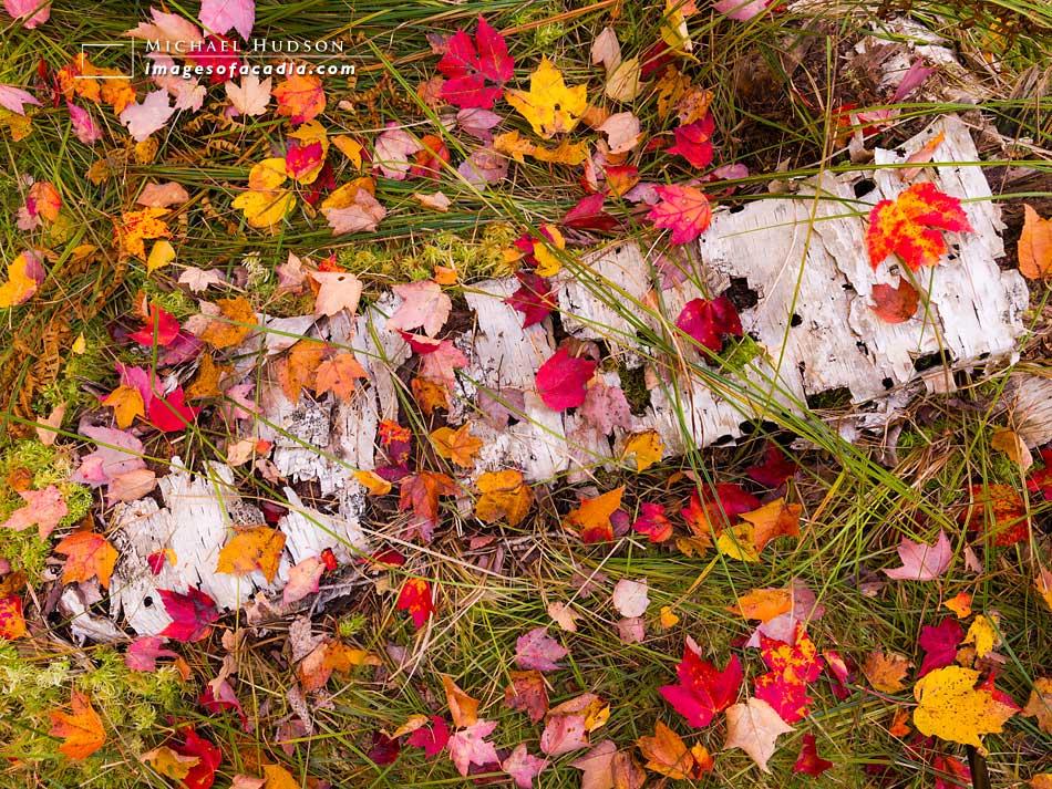 Fallen leaves along the Jesup Path, Sieur de Monts, Acadia Natio